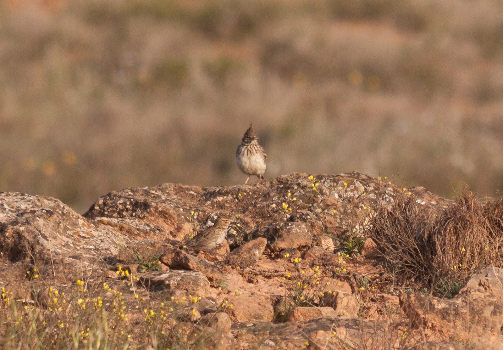 Thekla and Lesser Short-toed Lark - Spain