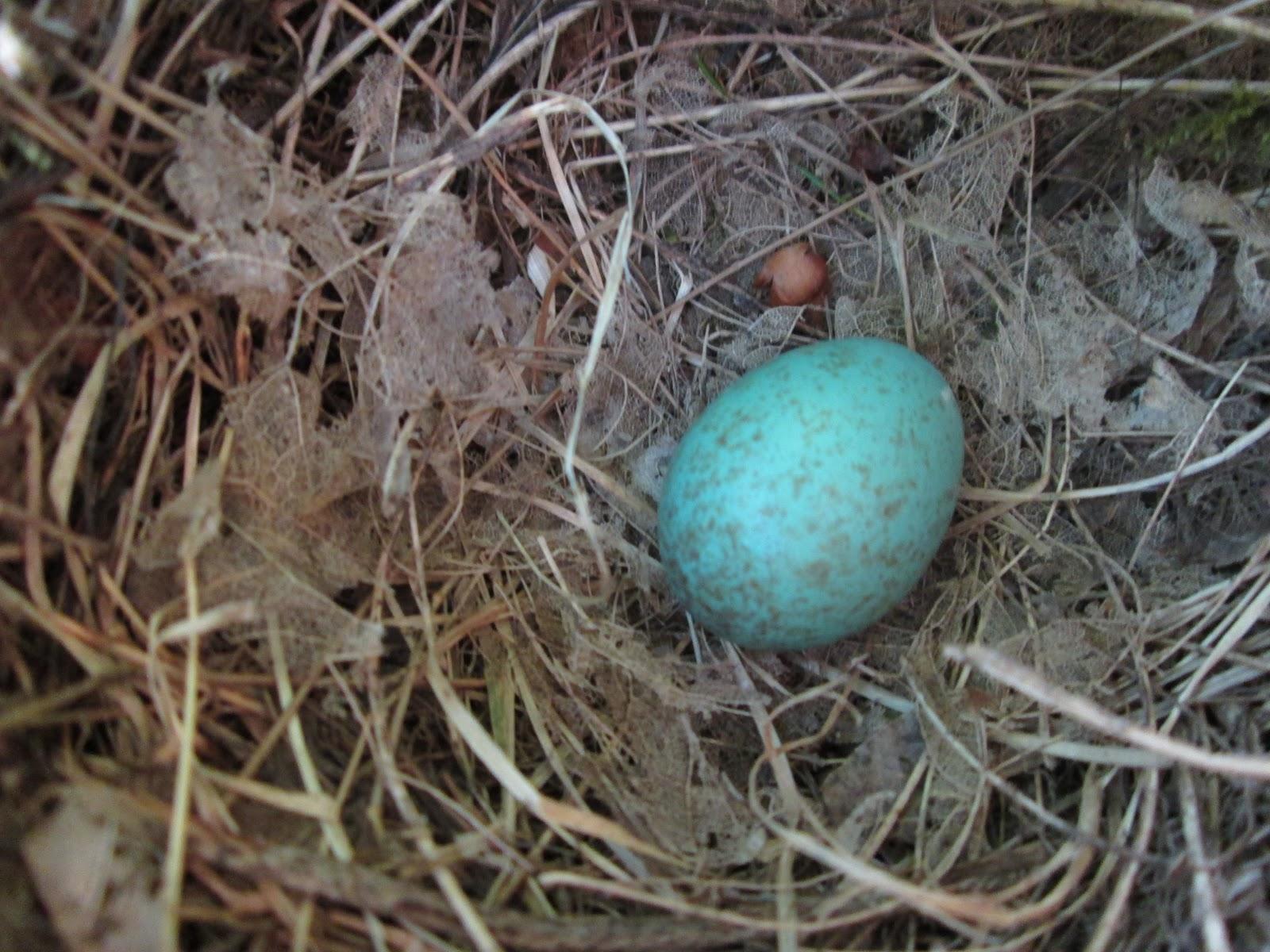 Eresfea nido de mirlo en pitosporo y huevo de mirlo for Huevo en el ano