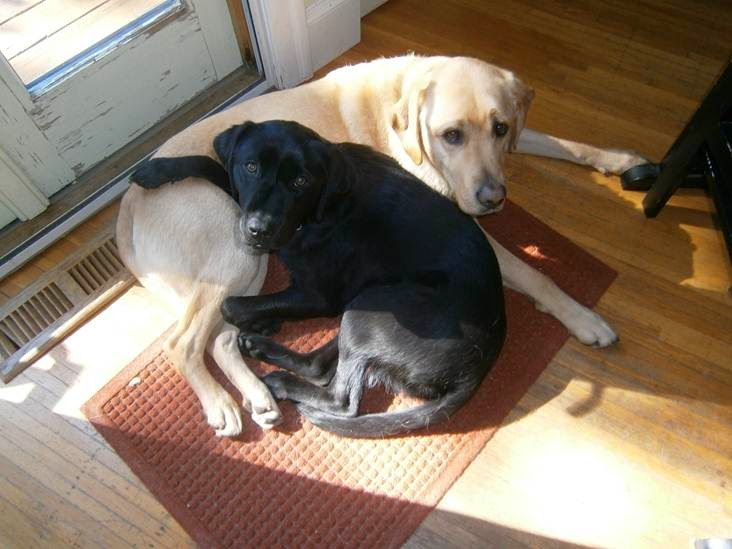 Black Lab Wilma with her pal, yellow Lab Storm