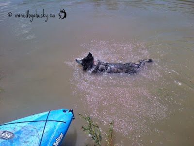siberian husky goes swimming!