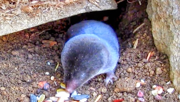 Short Tailed Shrew