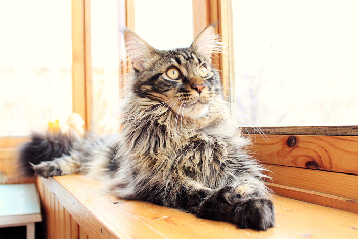 cat, Jacob, Maine Coon