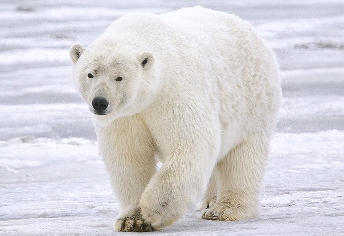 polar bear hd wallpapers hd wallpapers blog