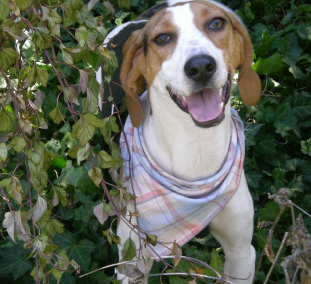 American Foxhound Dog Breeds
