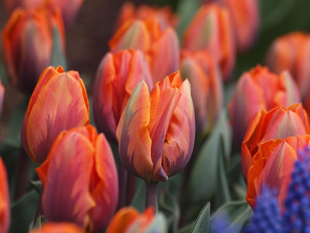 Tulips, English Garden, Conservatory Garden, Central Park, NYC