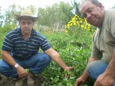 Tomates STARKE - AYRES una variedad nueva en el campo experiemntal