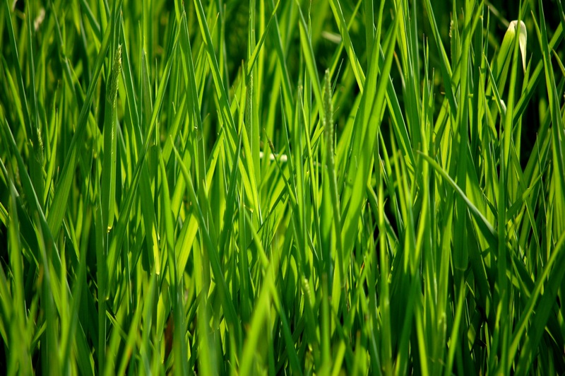 green grass grows   mobile wallpapers