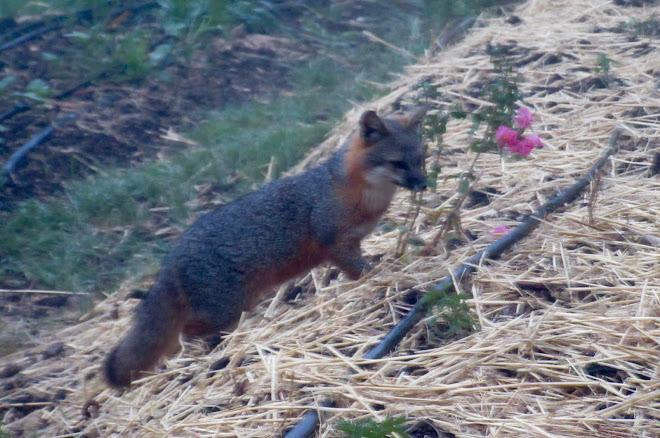Foxy lady.