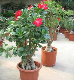 Aim news come curare le piante la rosa del deserto for Rosa pianta
