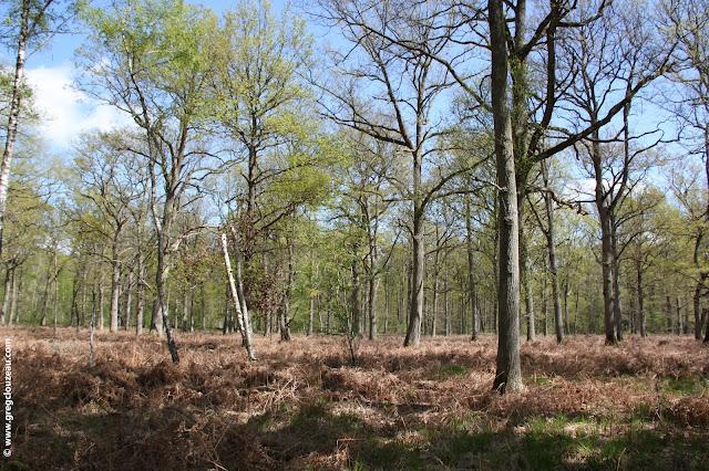 Chênaie en régénération après coupe d'éclaircie (limite nord de la forêt) Un paysage en futaie régulière est également très apprécié