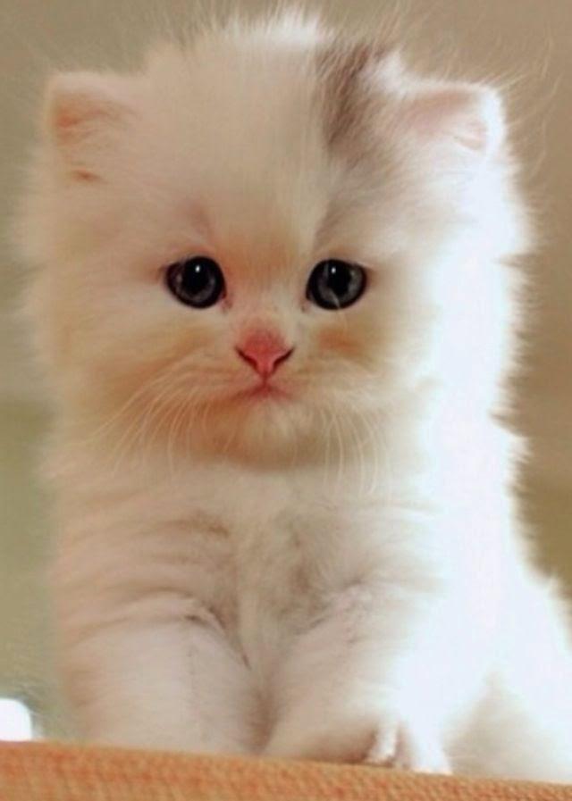 cute fluffy siamese kittens - photo #27