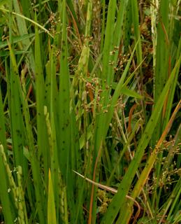 Tanaman padi terkena Hama Wereng
