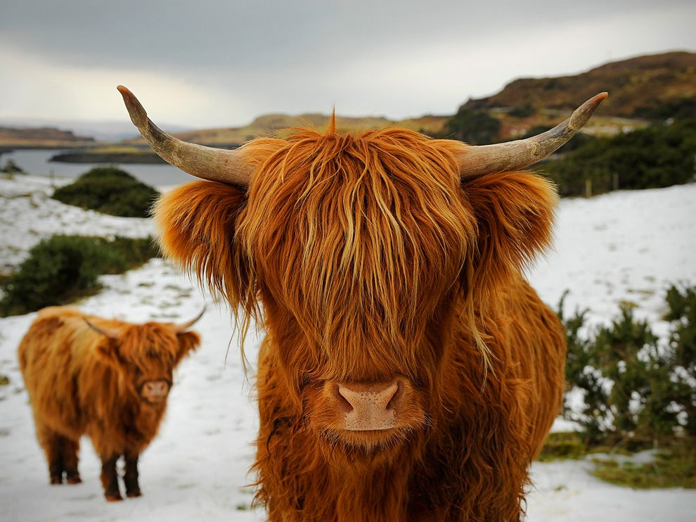 Highland Cattle New Photos And Info | The Wildlife - photo#27