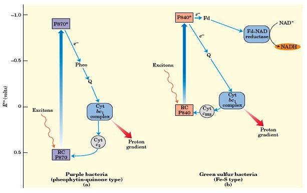Reaksi Fotosintesis pada bakteri ungu dan green sulfur bacteria.