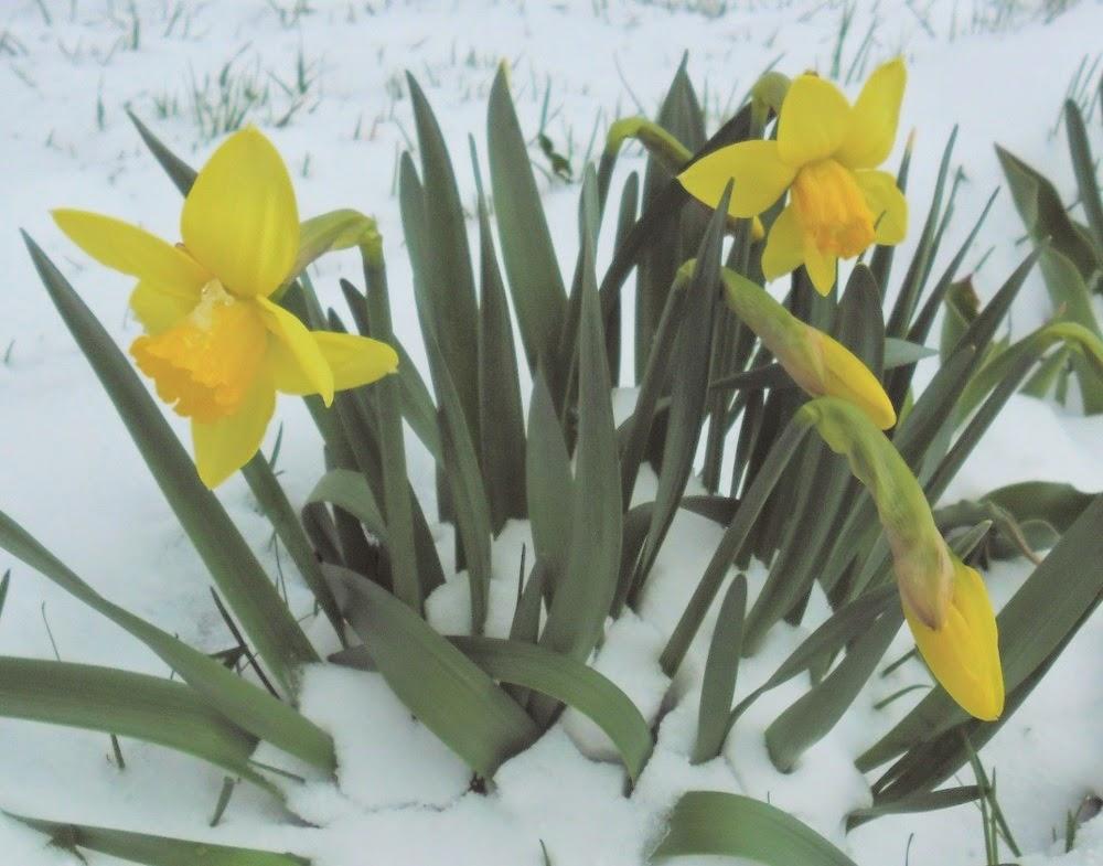 Нарциссы в снегу