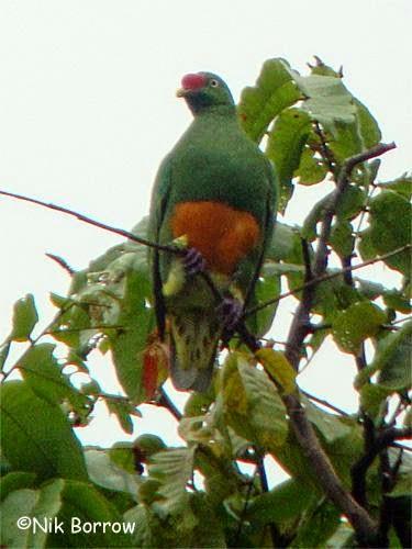 Knob billed fruit dove