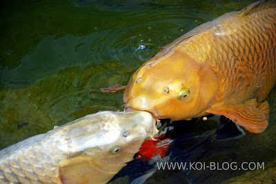 Kissing Koi