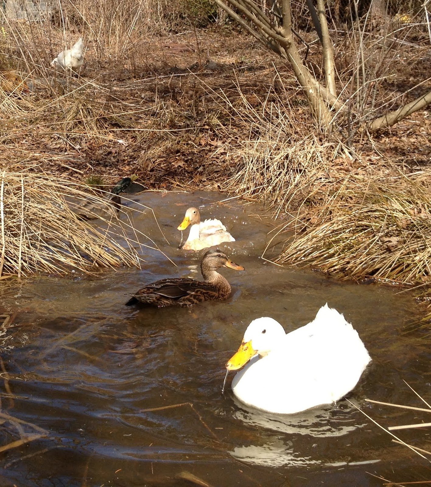 backyard ducks princeton nature notes