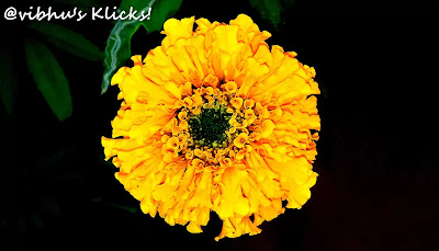 The real gold...marigold ~ A closeup shot