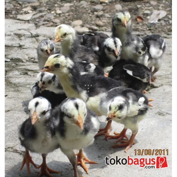Ayam Bangkok Malang Com Portal | Pelauts.Com