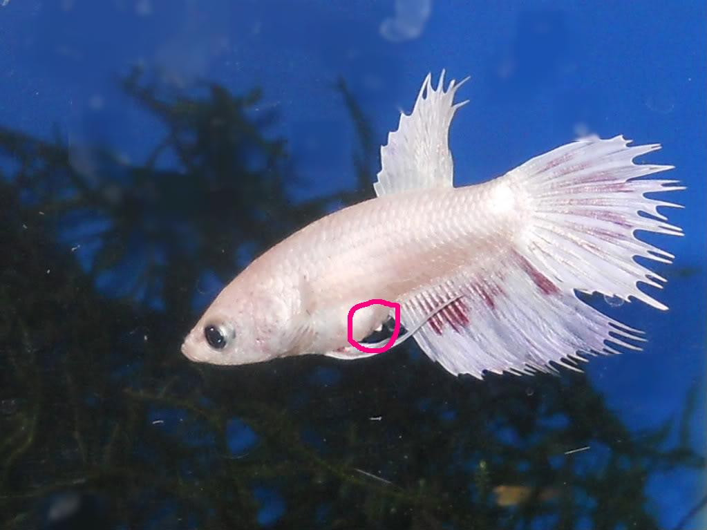 Male or female nice betta for Types of betta fish petco