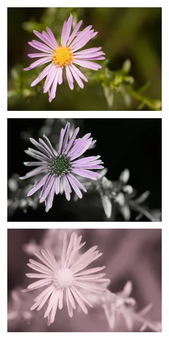 Comparison of an Aster (Michaelmas daisy) flower photographed in visible light (top), ultraviolet (middle), and infrared (bottom)