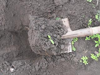 Комок земли при пересадке беру довольно большой