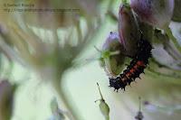 larve coccinelle carotte sauvage