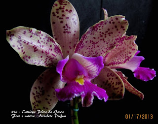 Cattleya Pedra da Gavea do blogdabeteorquideas