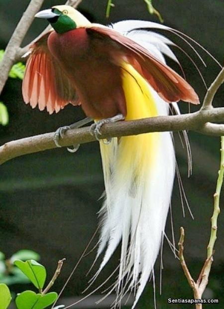 Burung Cenderawasih