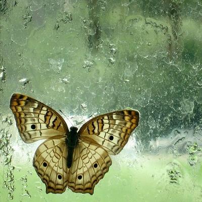 Sommerfugl fanget bag vådt vindue