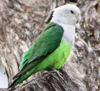Madagascar Lovebird / Grey-headed Lovebird