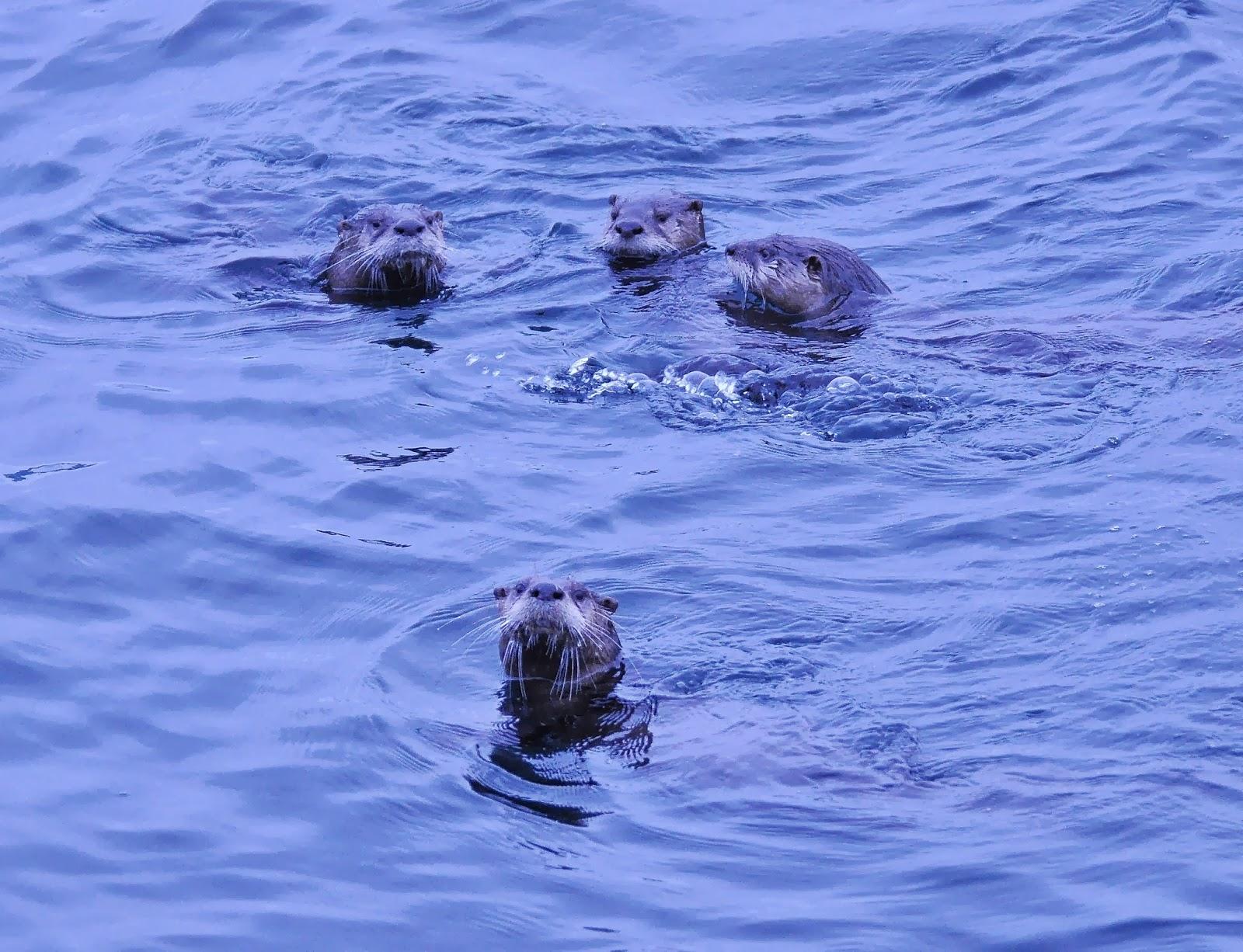 otters go to http wdfw wa gov living otters pdf Otter Sounds