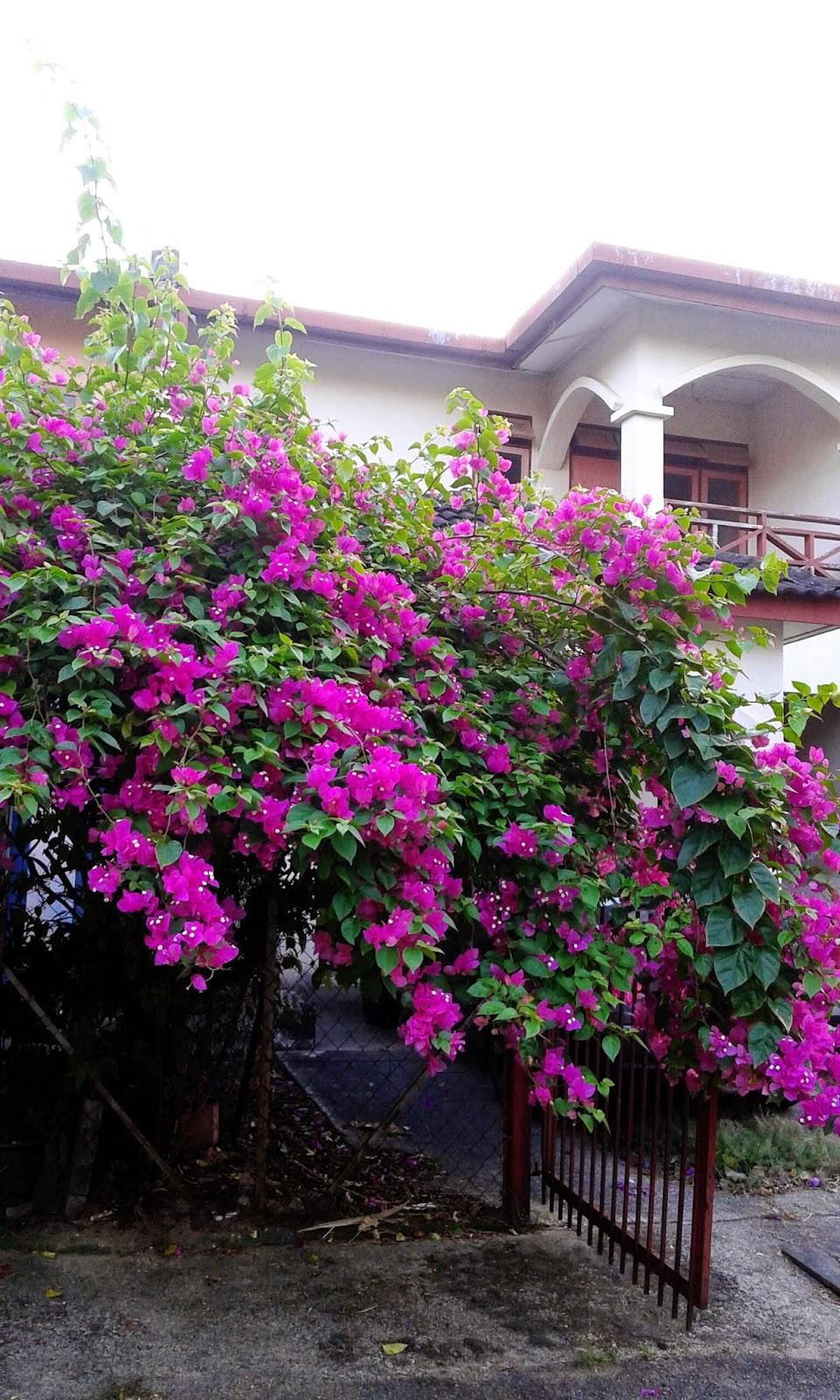 siapa yang patut ditendang, mencipta alasan, bunga kertas unggu, bunga kerta pink, rumah, siapa yang patut ditendang,faktor