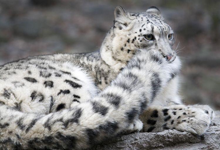 ¿Cómo te sientes en este momento? ¡Pon una imagen! Leopardo+de+las+nieves