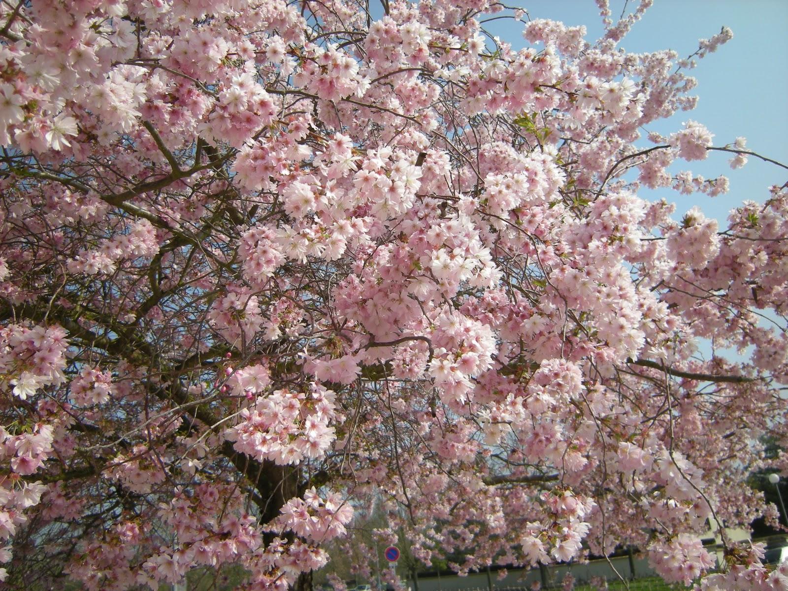 Mon jardin en le de france arbres en fleurs for Jardin japonais en ile de france