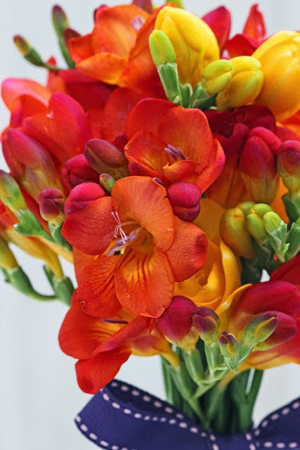 Colourful Freesia
