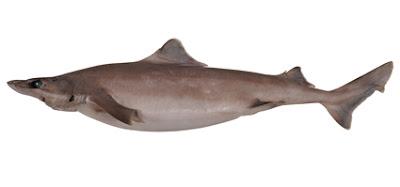 Tiburon mudo Centrophorus harrissoni