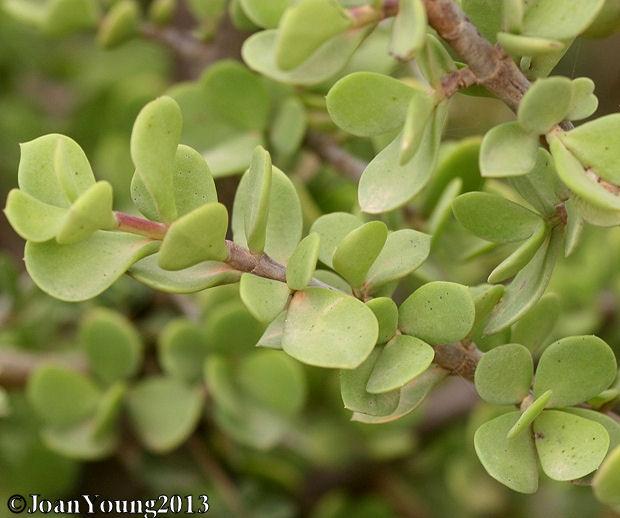 Natures World of Wonder: Porkbush/Vetplant (Portulacaria afra)