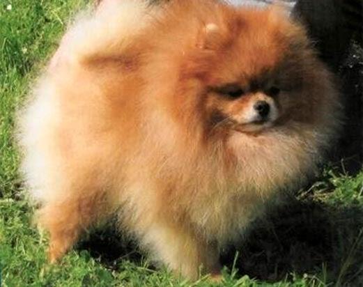 Universo cani volpino di pomerania for Cani pomerania