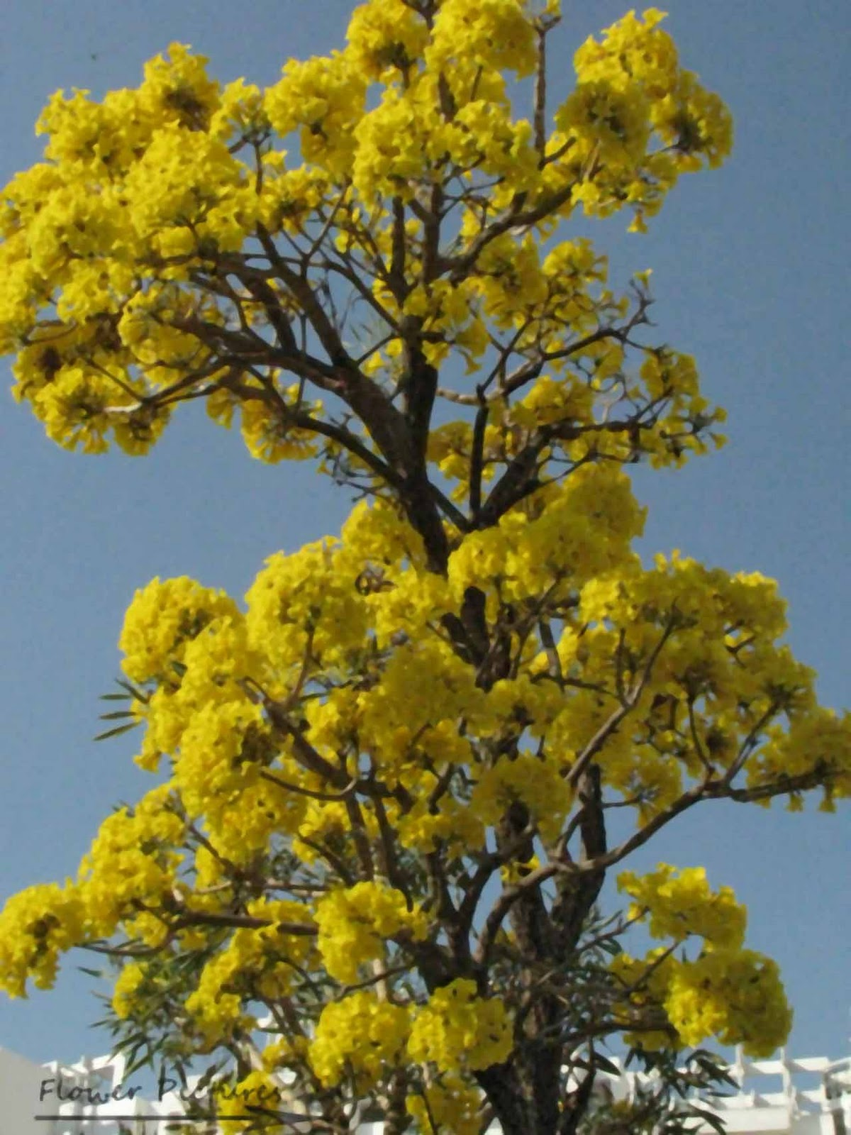 Trees that bloom yellow flowers home furniture design indian tree flowers images galleries with a bite trees that bloom yellow flowers mightylinksfo Gallery