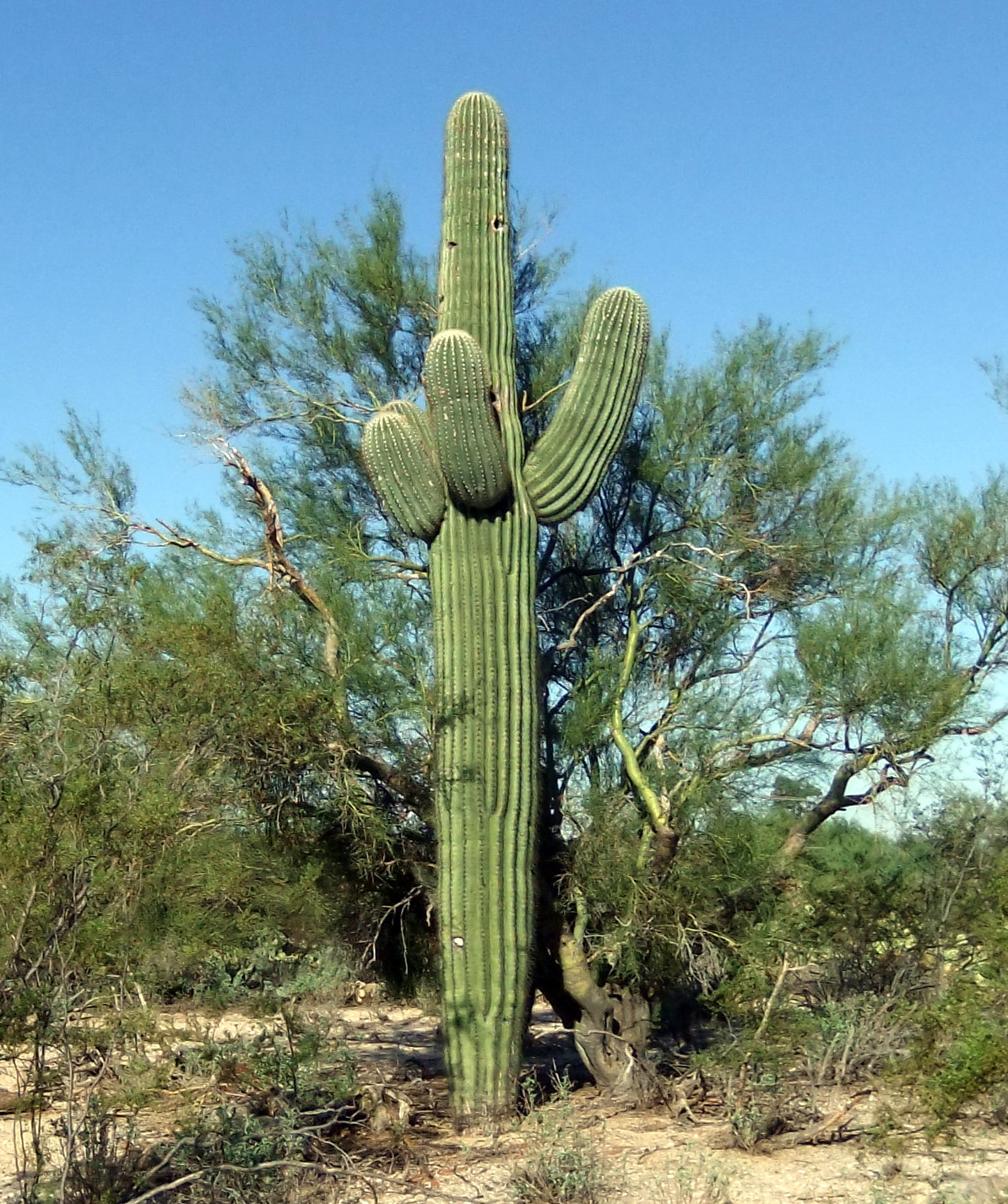 deserts cactus - photo #45