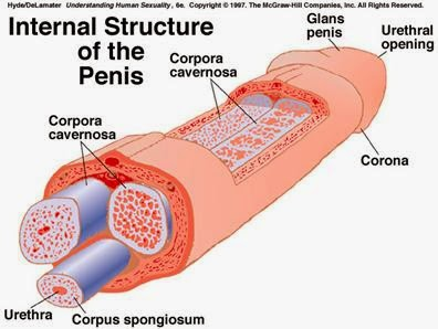 como lograr tener una ereccion duradera