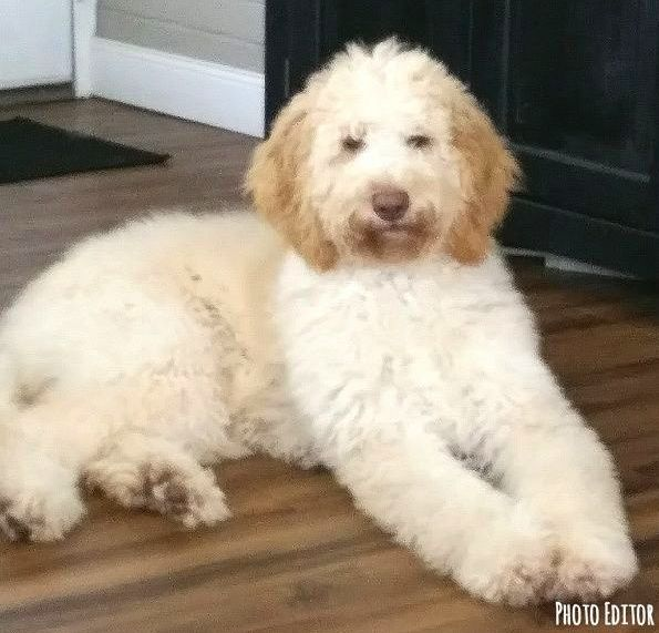 Our Goldendoodle...Zoey