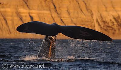 Südlichen Glattwale Halbinsel Valdés