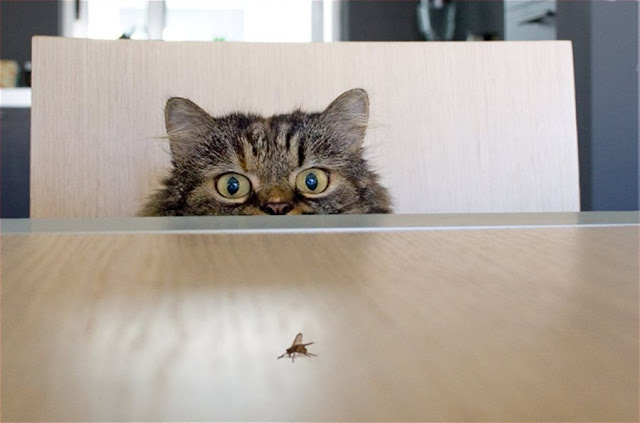 Funny cat hunting a fly, funny cat, cat picture