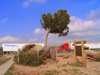 Unik, Pohon Pinus Ini Tumbuhnya Di Batu