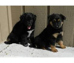 Border Collie German Shepherd puppies Mix