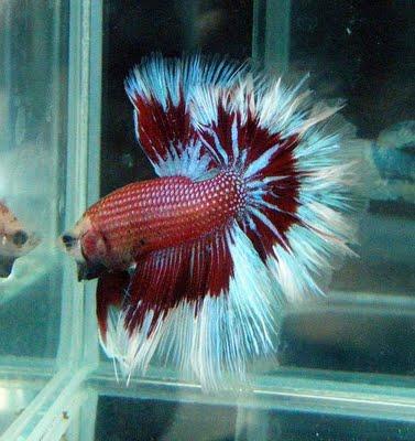 The beauty halfmoon betta for Betta fish life span