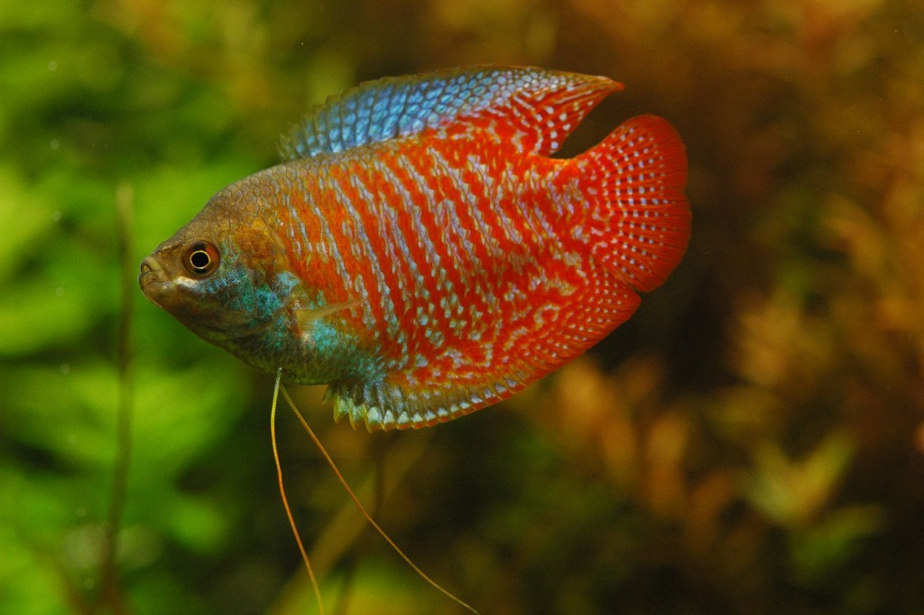 Peces y plantas ornamentales colisa lalia gurami enano for Reproduccion de peces ornamentales